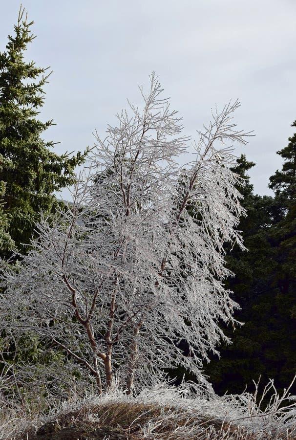 O gelo cobriu árvores em uma floresta foto de stock
