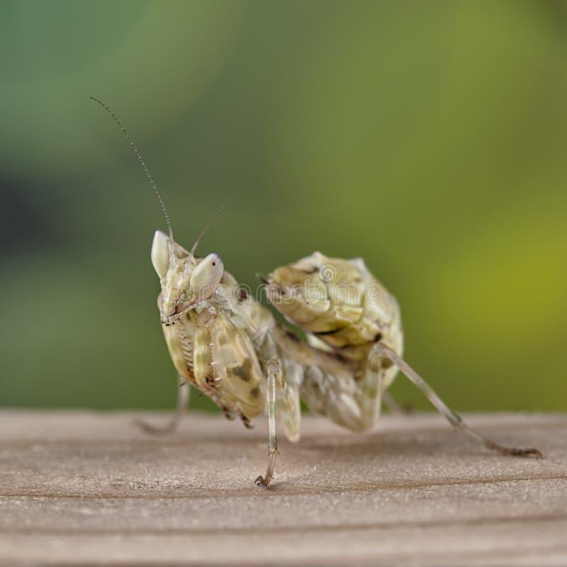 O gemmatus de Creobroter da louva-a-deus fertilizou fêmea fotografia de stock royalty free