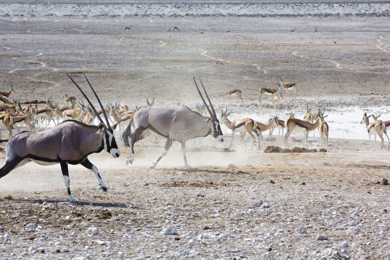 O gemsbok ou o gemsbuck ( Oryx gazella) no deserto Oryx no th foto de stock royalty free