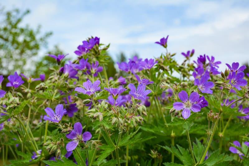 O gerânio azul cresce em meu jardim fotografia de stock