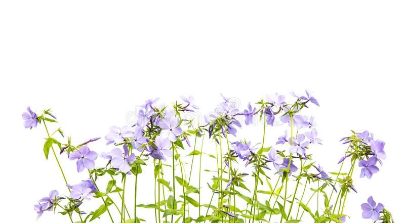 O gerânio pequeno floresce a beira floral fotos de stock royalty free
