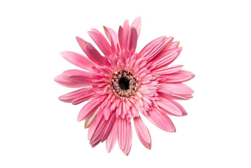 O Gerbera ou a margarida, florescem a cor cor-de-rosa isolado, trajeto de grampeamento imagem de stock