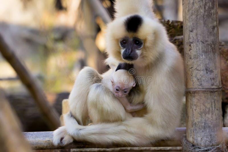 O gibão fêmea de Gabriella, gabriellae de Nomascus com bebê foto de stock royalty free