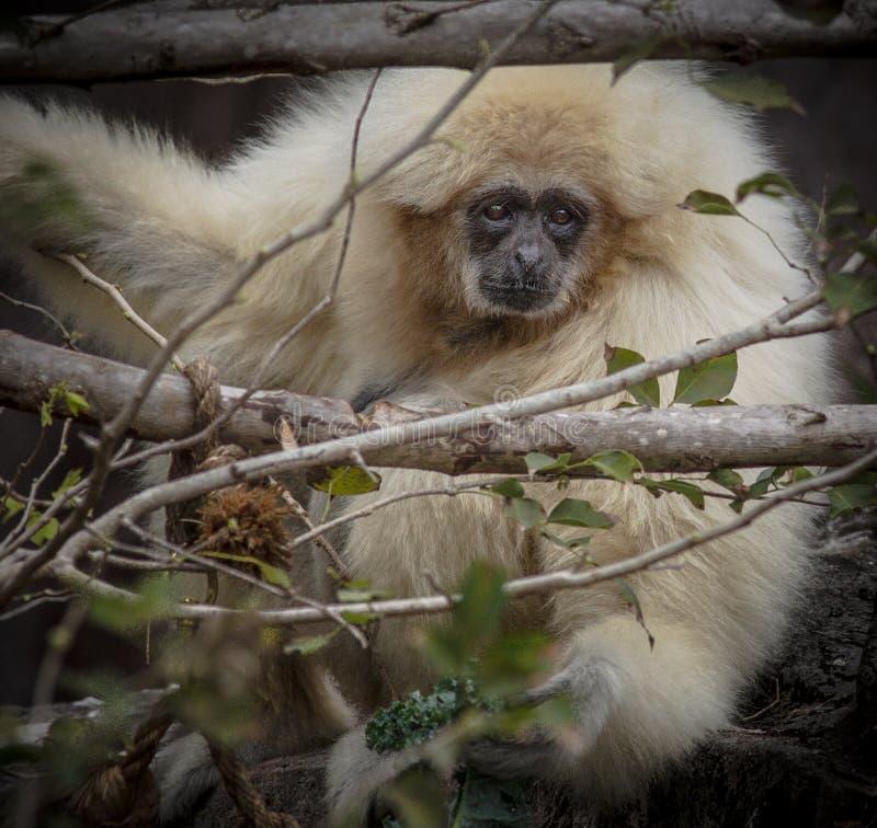 O Gibbon esconde nas árvores fotos de stock royalty free