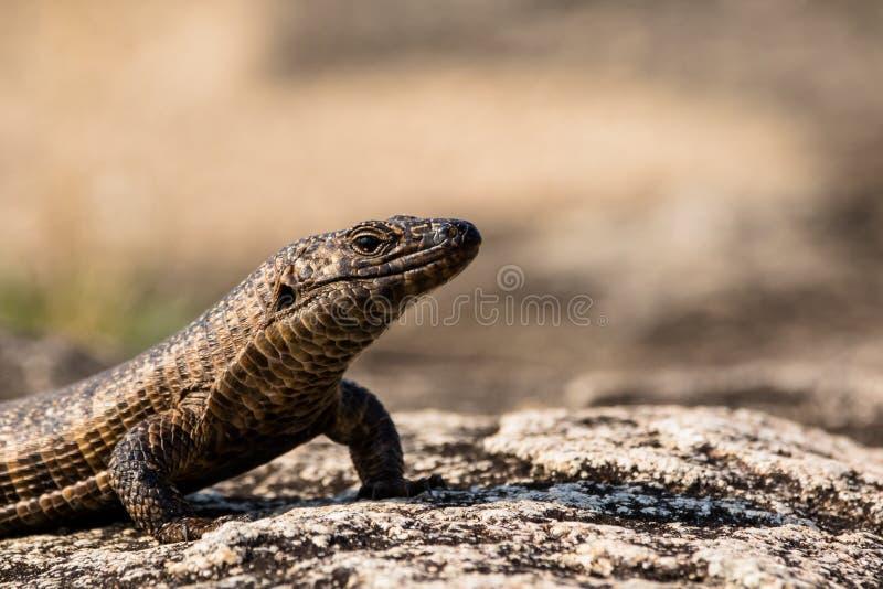 O gigante chapeou o banho de sol do lagarto sobre uma rocha agradavelmente textured imagens de stock