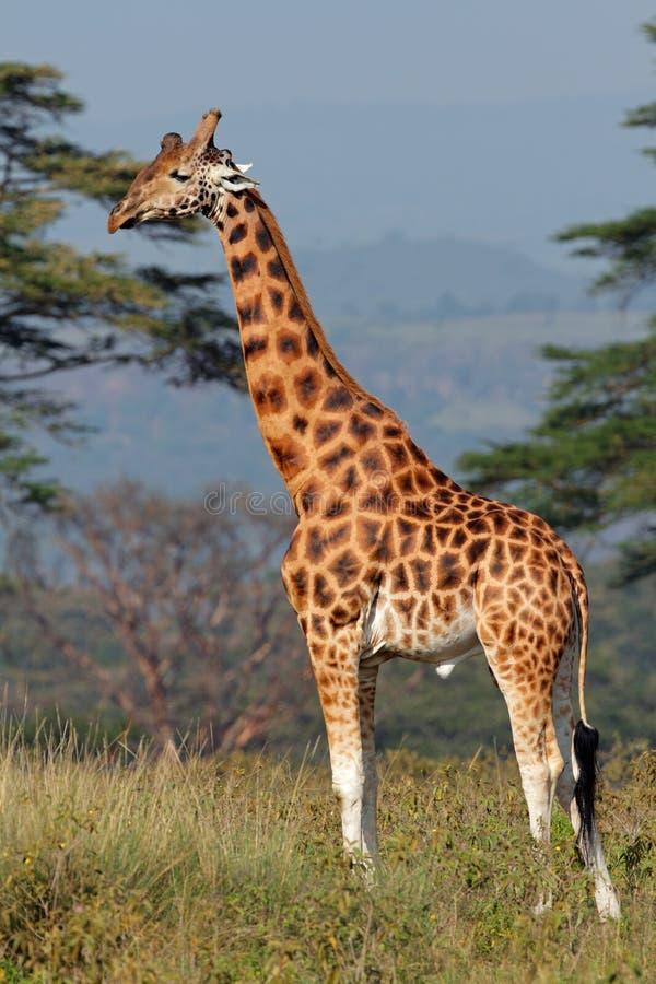 O girafa de Rothschild imagem de stock royalty free