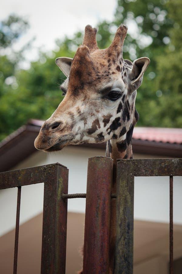 O girafa de Rothschild fotos de stock royalty free