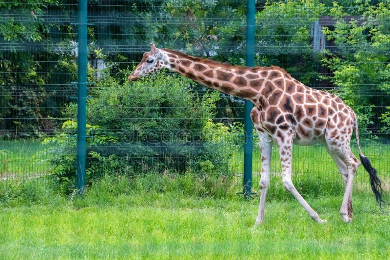 O girafa de Rothschild ou dos camelopardalis do Giraffa rothschildi andam no captiveiro imagens de stock