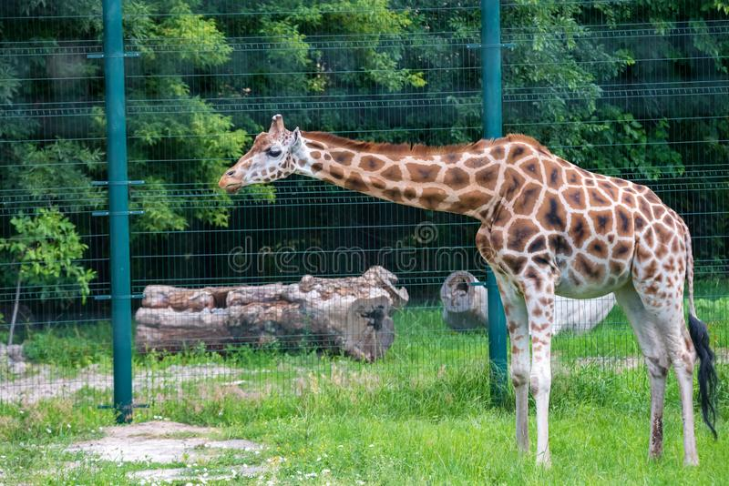 O girafa de Rothschild ou dos camelopardalis do Giraffa rothschildi andam no captiveiro fotografia de stock