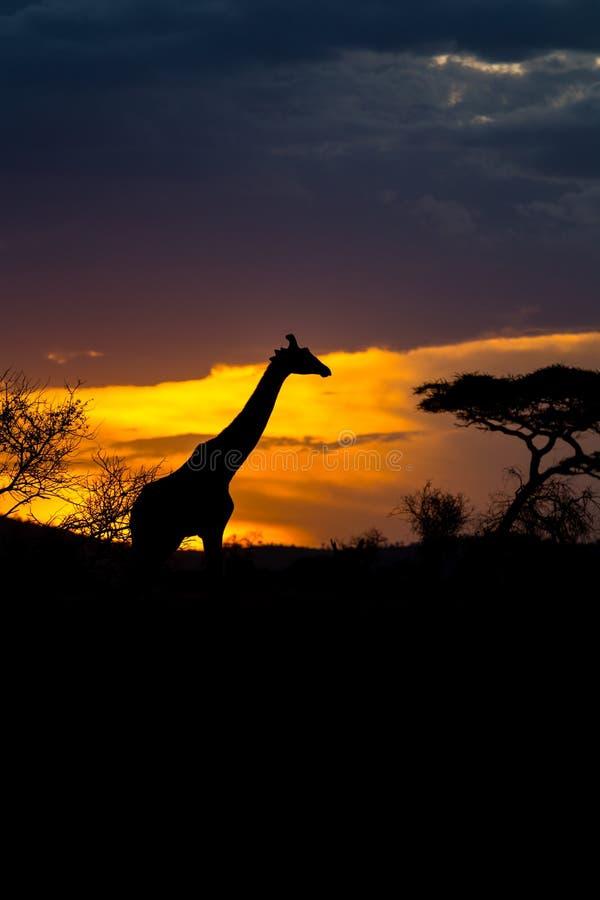 O girafa de um Rothschild que anda na frente do por do sol imagens de stock