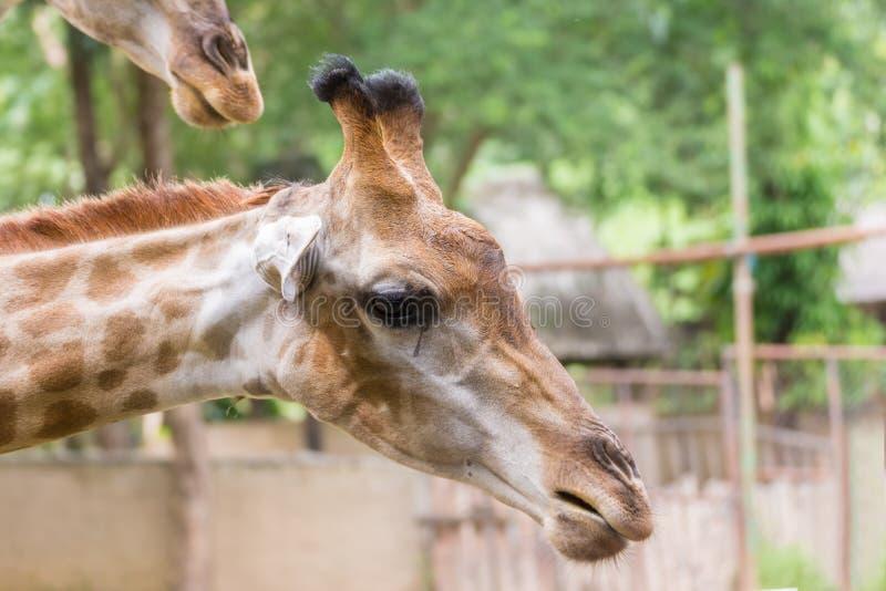 O girafa no jardim zoológico caiu para baixo para alimentar o ser humano imagem de stock