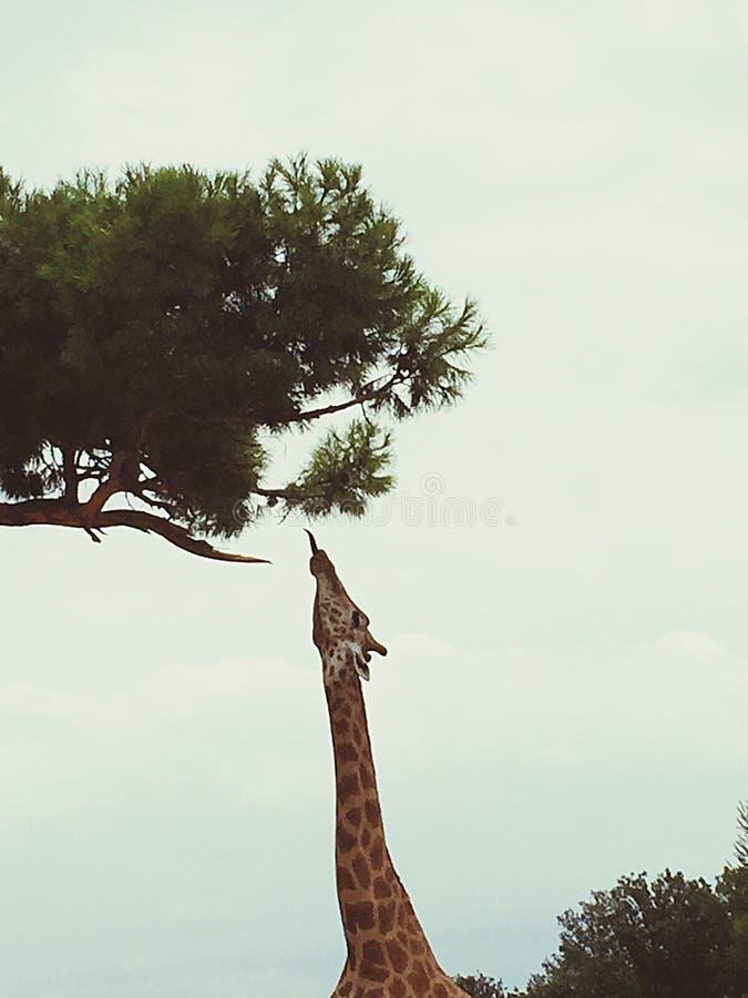 o girafa que come fotos de stock