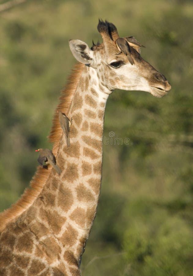 O Giraffe com os pássaros do tiquetaque nele é garganta, África do Sul fotografia de stock