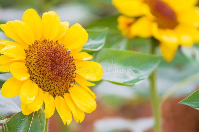 O girassol é a flor como a luz solar e um bonito grande foto de stock
