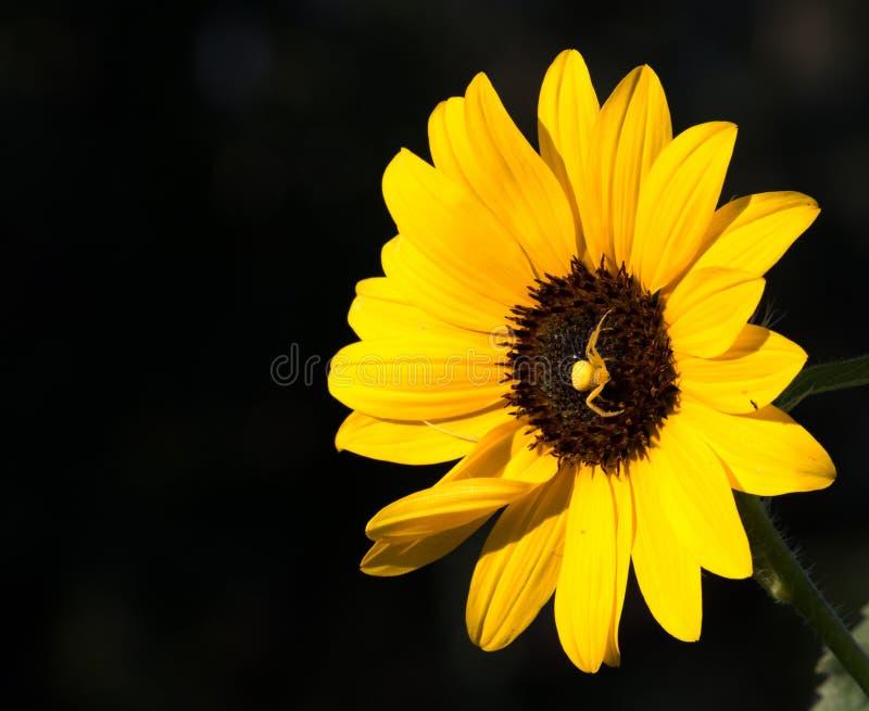 O girassol amarelo brilhante, vibrante ocupado por uma aranha amarela no centro da flor ajustou-se contra um fundo preto fotos de stock