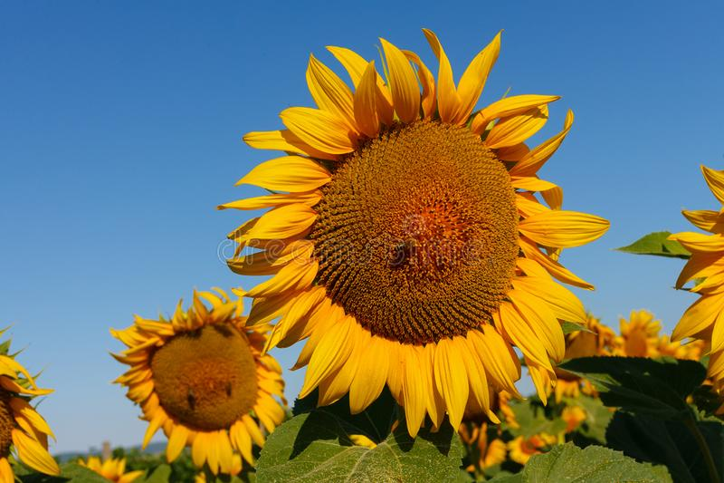 O girassol de florescência com um fim da abelha acima fotografia de stock