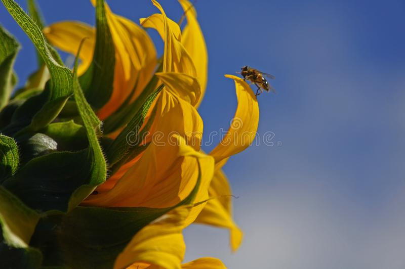 O girassol e a vespa fotografia de stock royalty free