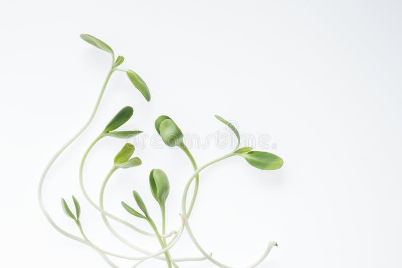 O girassol novo verde orgânico brota no branco imagens de stock royalty free