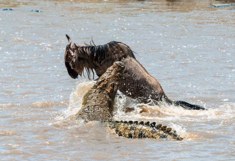 O gnu azul do antílope (taurinus do connochaetes), submeteu-se a um ataque de um crocodilo imagens de stock