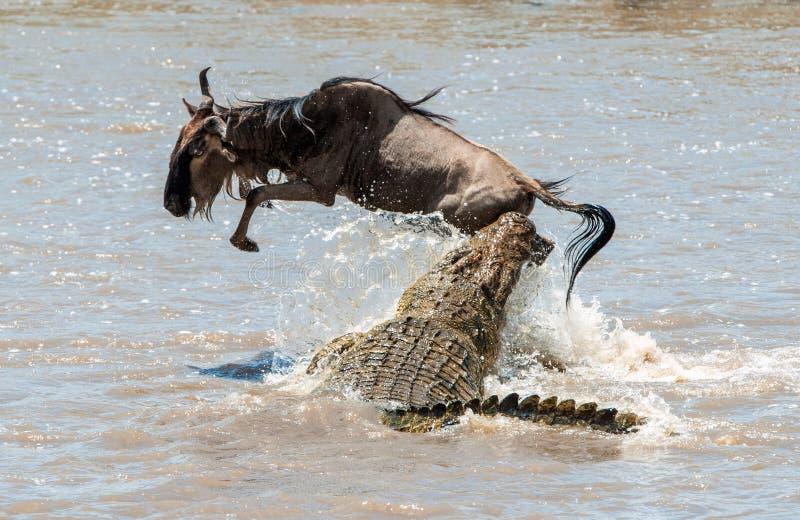 O gnu azul do antílope (taurinus do connochaetes), submeteu-se a um ataque de um crocodilo fotos de stock royalty free