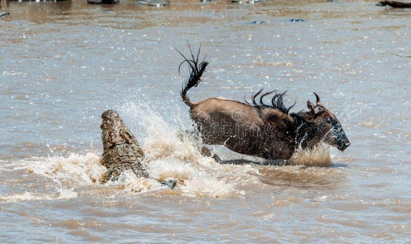 O gnu azul do antílope (taurinus do connochaetes), submeteu-se a um ataque de um crocodilo fotografia de stock royalty free
