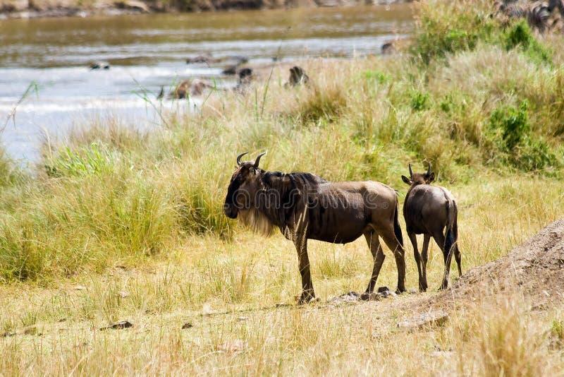 O gnu durante a migração hesita cruzar Mara River fotografia de stock