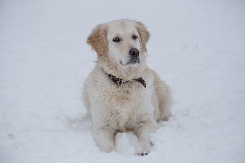 O golden retriever bonito está encontrando-se na neve branca Animais de animal de estimação foto de stock