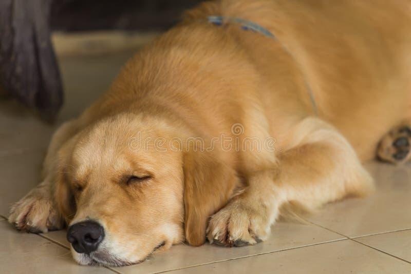 O golden retriever está dormindo foto de stock