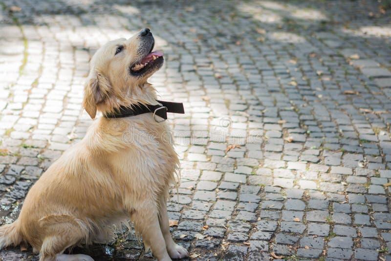O golden retriever novo está esperando o comando, cão bonito imagens de stock royalty free