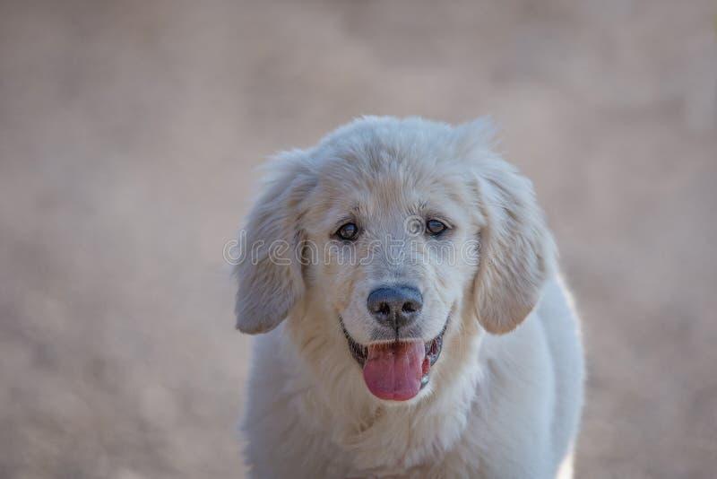 O golden retriever novo produz o cão com olhares fixos claros da pele no seu imagens de stock royalty free