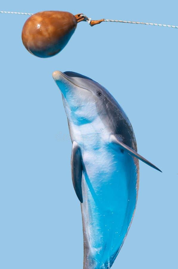 O golfinho de Bottlenose salta (isolado no fundo azul) imagens de stock royalty free