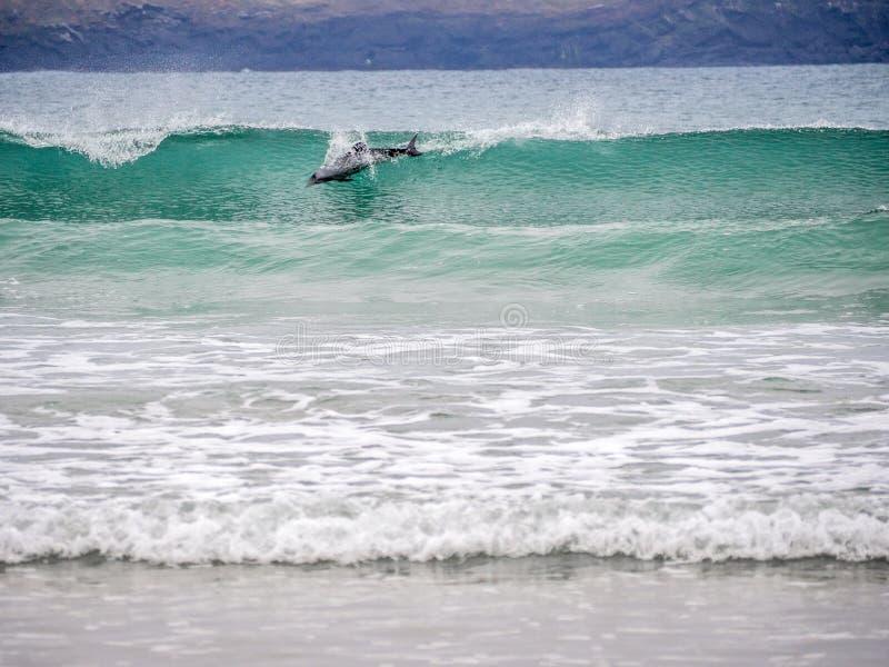 O golfinho de Hector que surfa na onda fotos de stock royalty free