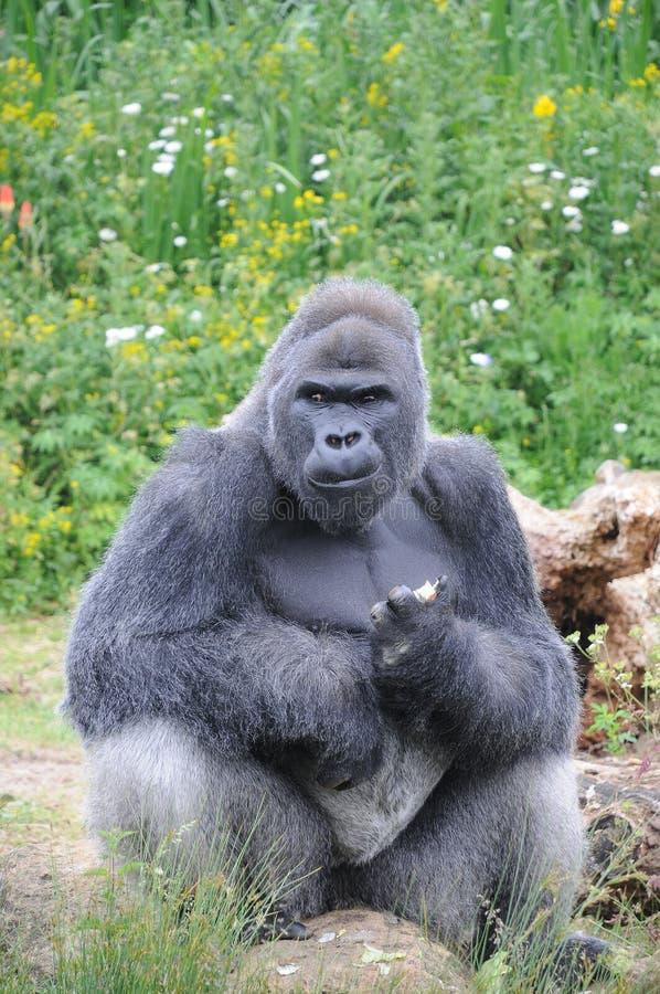 O gorila de planície ocidental masculino da parte traseira da prata sentou comer imagem de stock royalty free