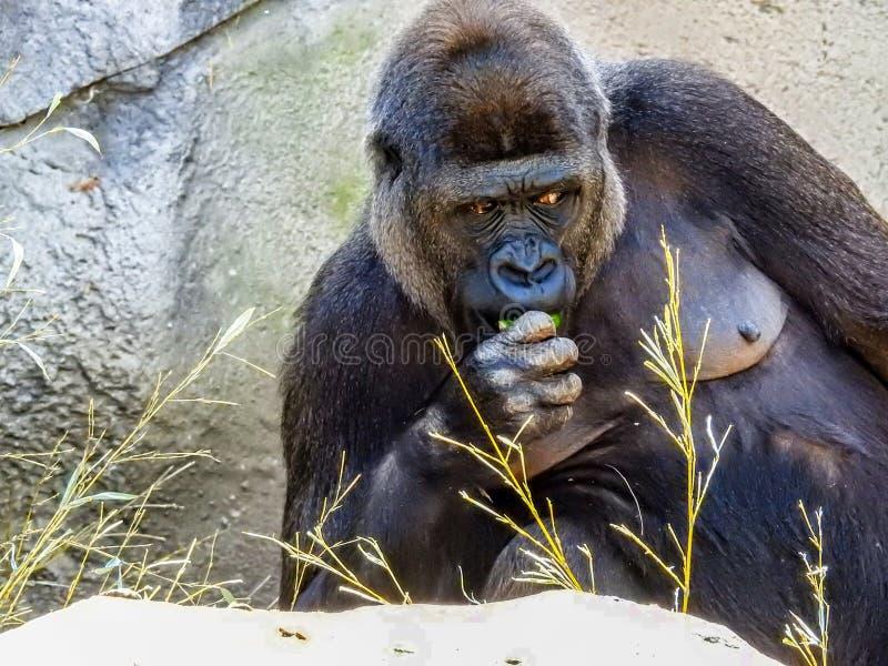 O gorila fêmea está comendo imagens de stock royalty free