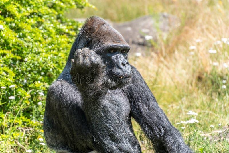 O gorila olha seriamente e pensa foto de stock royalty free