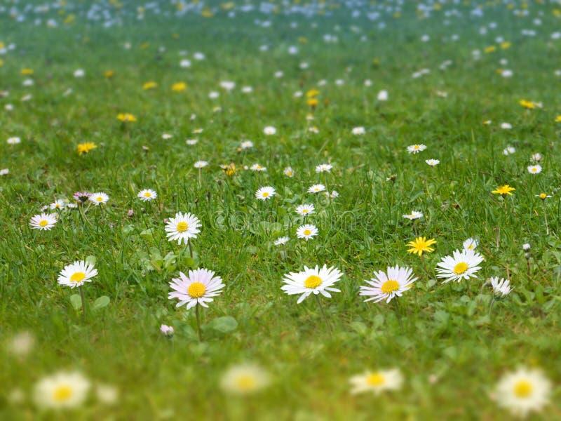 O gramado da grama verde com margarida e dente-de-leão floresce o backgro da mola fotos de stock