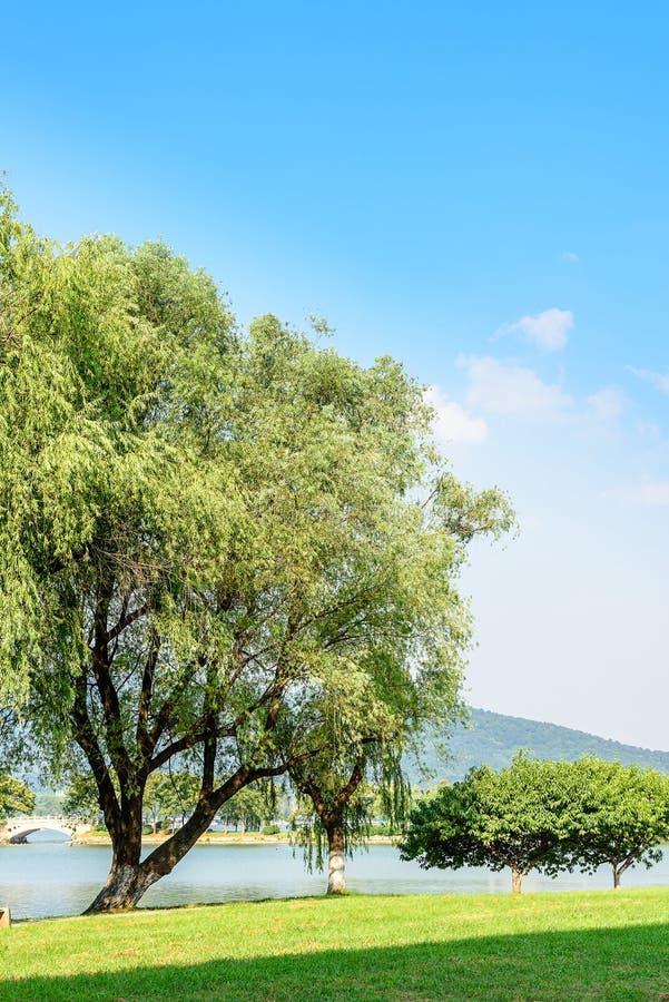 O gramado e o salgueiro verdes imagens de stock