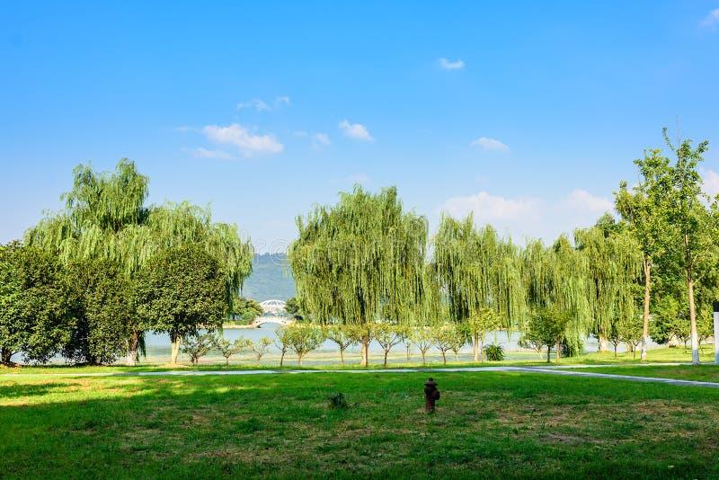 O gramado e o salgueiro verdes imagem de stock