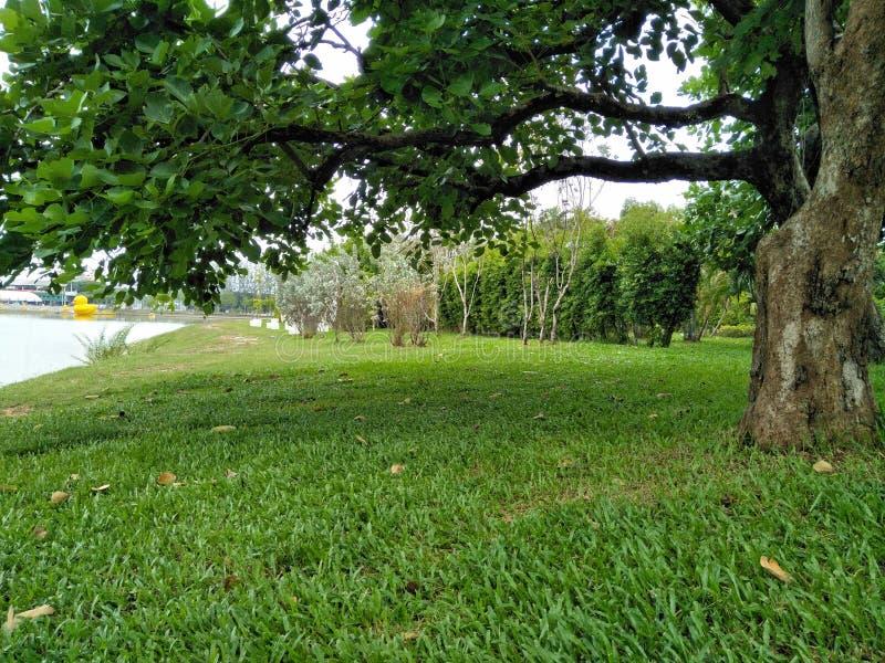 O gramado verde sob a árvore fotos de stock