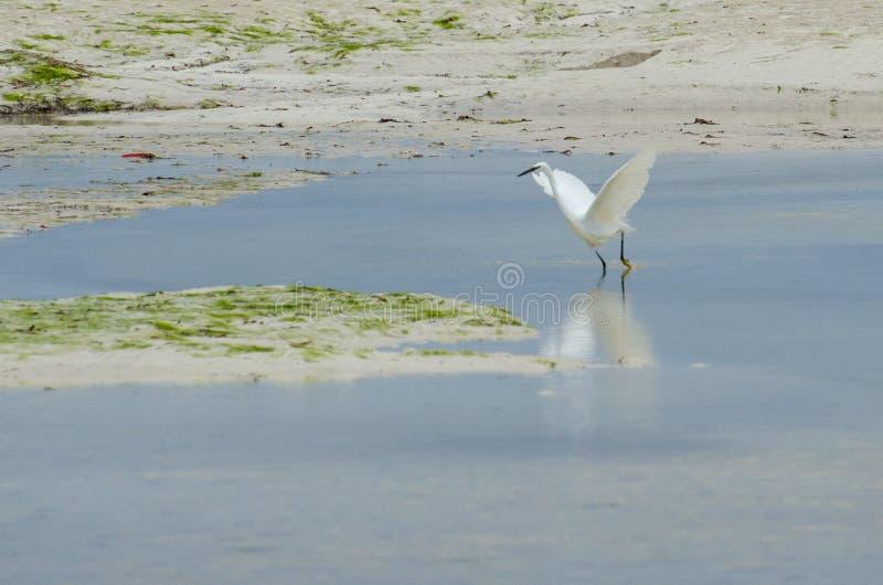 O grande Ardea Zanzibar alba do egret, Tanzânia - em fevereiro de 2019 imagens de stock