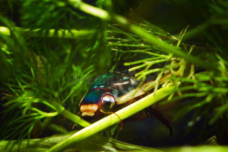 O grande besouro de mergulho, marginalis de Dytiscus, homem esconde na vegetação densa do hornwort, inseto de água doce selvagem  imagens de stock royalty free