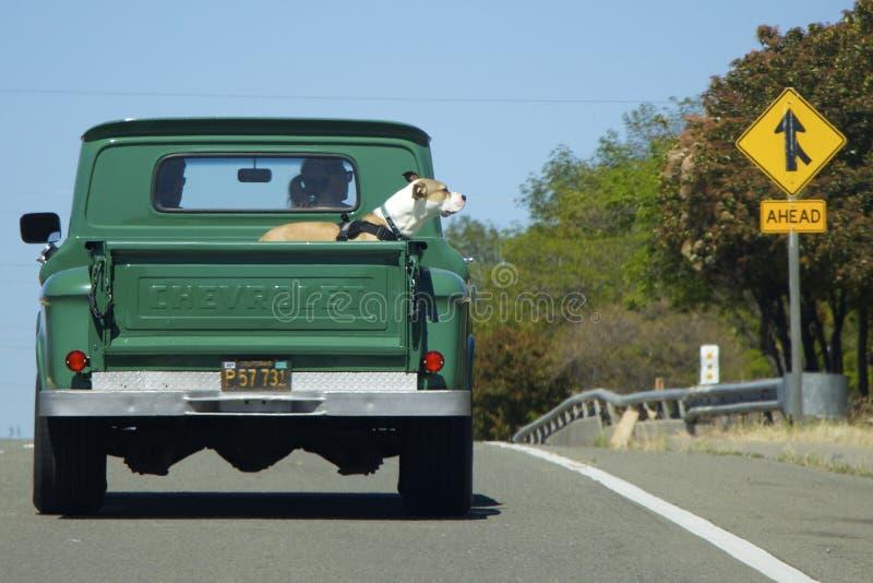 O grande cão do pugilista monta para trás no camionete verde velho Chevrolet foto de stock royalty free