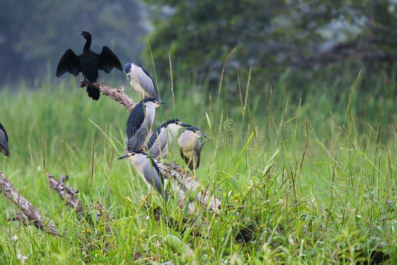 O grande carbo do Phalacrocorax do cormorão foto de stock
