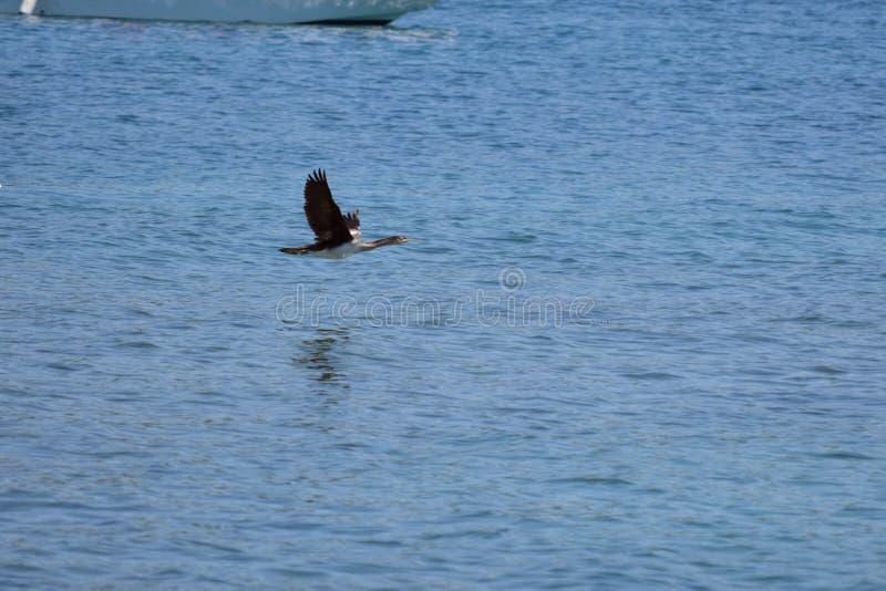 O grande cormorão está voando sobre o mar de adriático fotografia de stock royalty free