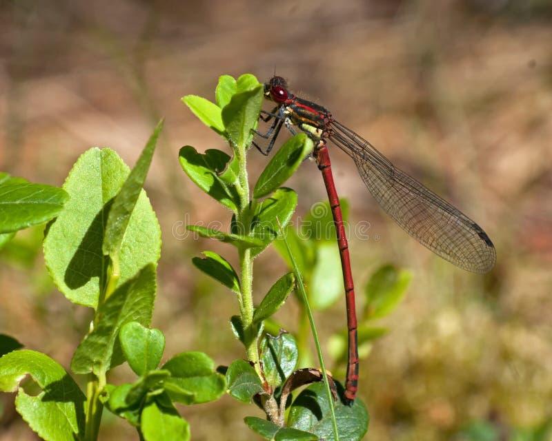 O grande damselfly vermelho senta-se e descansa-se em uma planta imagens de stock