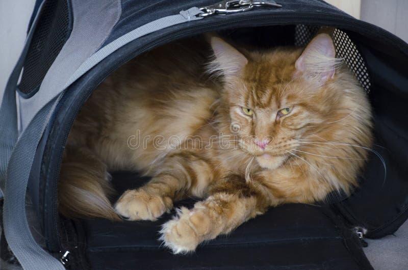 O grande gato de racum de mármore vermelho de Maine encontra-se em um saco de portador do animal de estimação fotografia de stock