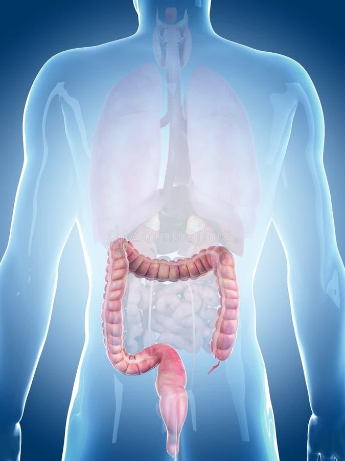 O grande intestino ilustração do vetor