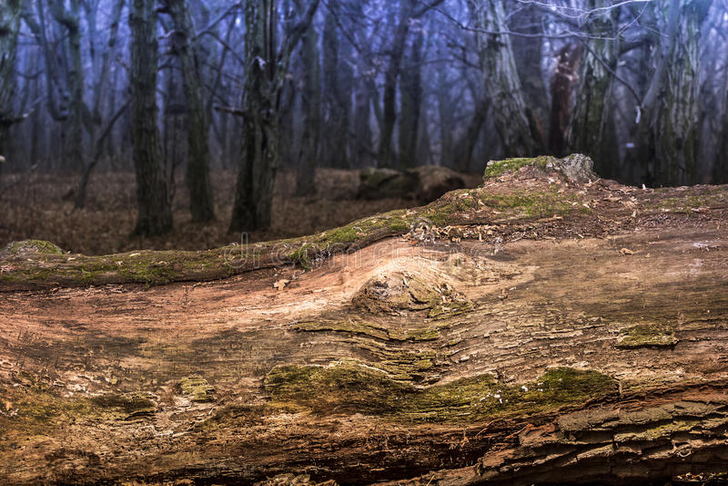 O grande musgo envolveu a árvore que encontra-se, floresta decíduo foto de stock
