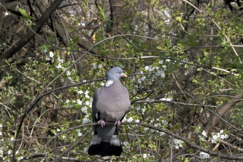 O grande pombo torcaz selvagem no ramo de árvore imagem de stock royalty free