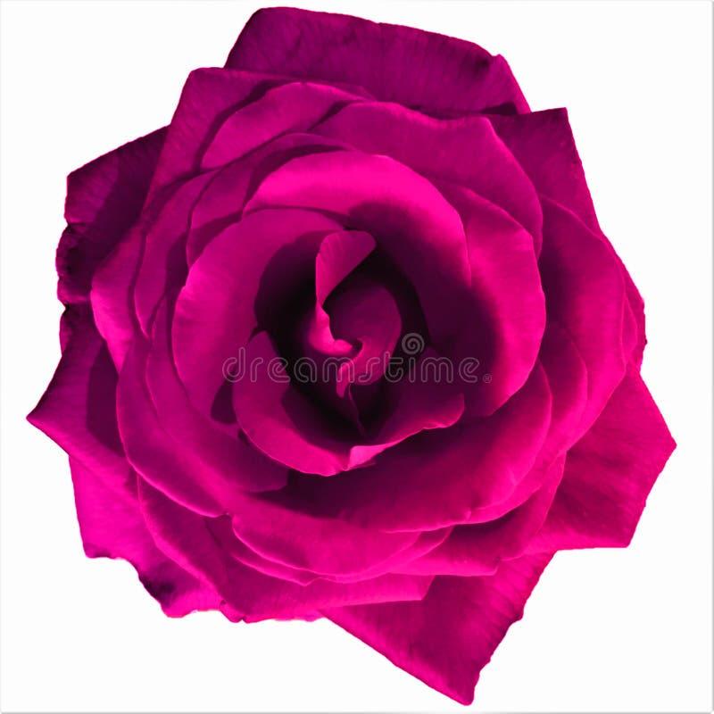 O grande rosa escuro aumentou com fundo branco foto de stock royalty free